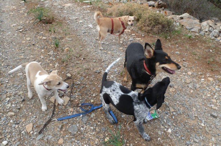 Gruppe kretischer Hunde