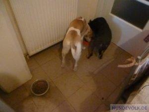 Ein jüngerer und älterer Hund fressen gemeinsam aus einem Napf.