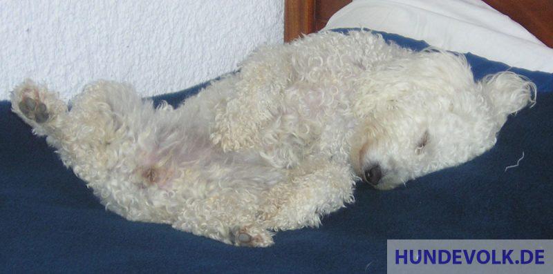 Hund schläft auf Rücken