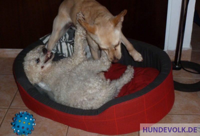 älterer und jüngerer Hund spielen