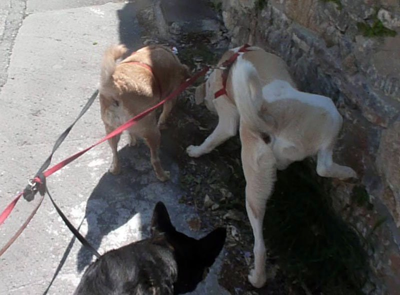 Junghund hebt Bein