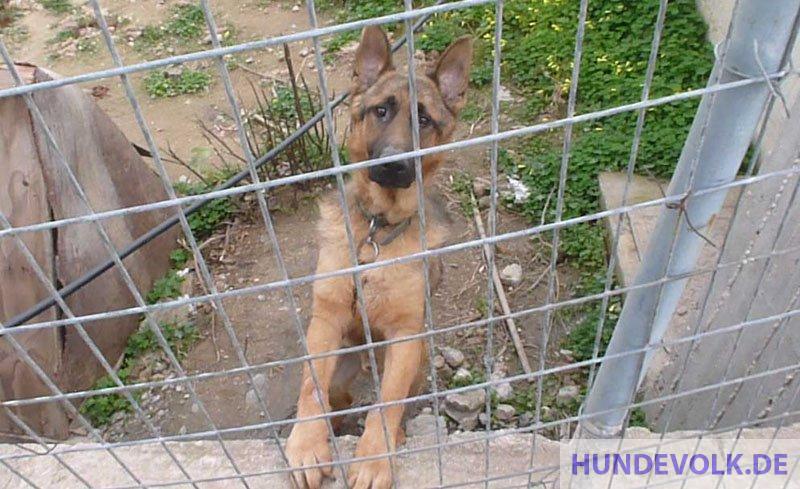 Blick angeketter Hund